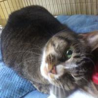 Adopt A Pet :: Clover - Cooperstown, NY