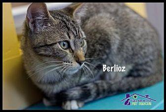 Domestic Shorthair Kitten for adoption in Richardson, Texas - Berlioz