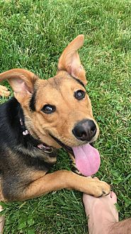 Shepherd (Unknown Type) Mix Dog for adoption in Detroit, Michigan - Lucky