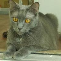 Domestic Shorthair/Domestic Shorthair Mix Cat for adoption in Florence, Alabama - Stanley