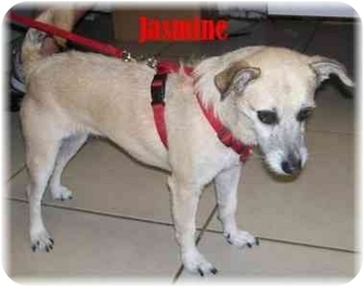 Jack Russell Terrier Mix Dog for adoption in Ft. Pierce, Florida - Jasmine