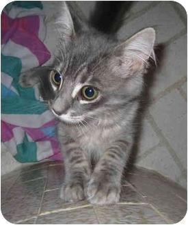 Domestic Mediumhair Kitten for adoption in Davis, California - Quincy