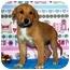 Photo 3 - Shepherd (Unknown Type)/Australian Cattle Dog Mix Puppy for adoption in Broomfield, Colorado - Winnie Mae