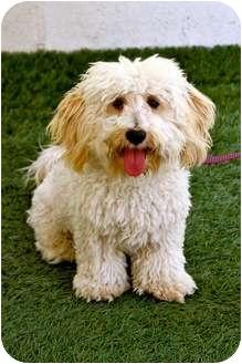 Poodle (Miniature)/Bichon Frise Mix Dog for adoption in Mission Viejo, California - Auggie