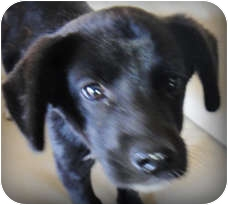 Spaniel (Unknown Type)/Retriever (Unknown Type) Mix Puppy for adoption in Poway, California - Banks