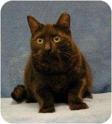 Domestic Shorthair Cat for adoption in Sacramento, California - Ashen