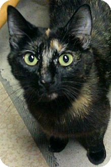 Domestic Shorthair Cat for adoption in Sterling Heights, Michigan - Gretchen