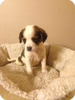 Beagle Mix Puppy for adoption in Lexington, Kentucky - Marie