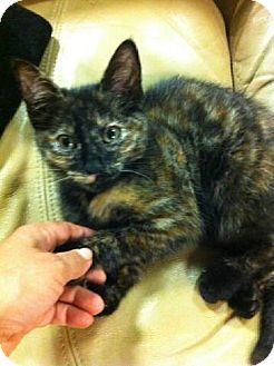 Calico Kitten for adoption in Atlanta, Georgia - Crumble