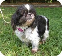 Shih Tzu Dog for adoption in Kingwood, Texas - Chloe