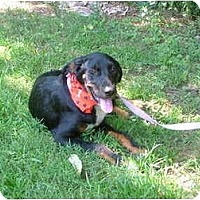Adopt A Pet :: Cuddles - Glastonbury, CT
