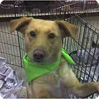 Adopt A Pet :: ELLIE - Fowler, CA