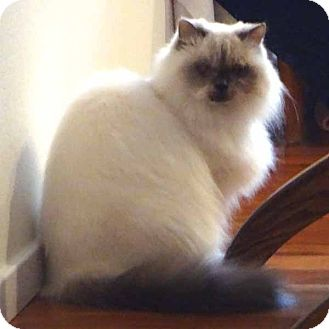 Himalayan Cat for adoption in McCormick, South Carolina - Missy