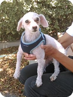 Poodle (Toy or Tea Cup) Mix Dog for adoption in Corona, California - Louie