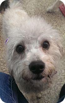 Poodle (Miniature) Mix Dog for adoption in Thousand Oaks, California - Winnie
