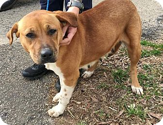 Hound (Unknown Type) Mix Dog for adoption in Providence, Rhode Island - Blossom