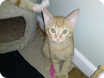 Domestic Shorthair Cat for adoption in Warren, Michigan - Brutus