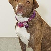 Adopt A Pet :: Pumpkin - St. Clair Shores, MI