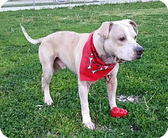 Labrador Retriever/Pit Bull Terrier Mix Dog for adoption in Montgomery City, Missouri - Ol' Henry