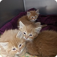 Adopt A Pet :: Oswald - Chippewa Falls, WI
