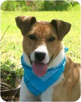 Boxer/Terrier (Unknown Type, Medium) Mix Dog for adoption in Portsmouth, Rhode Island - Kirby