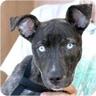 American Pit Bull Terrier Mix Puppy for adoption in Berkeley, California - Hennessy