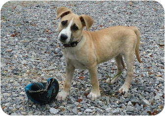 German Shepherd Dog/Labrador Retriever Mix Puppy for adoption in Pike Road, Alabama - Blaze