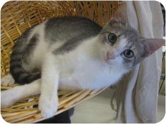 Russian Blue Kitten for adoption in Dallas, Texas - Jeanie