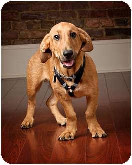 Basset Hound/Labrador Retriever Mix Puppy for adoption in Owensboro, Kentucky - Stewie