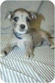 Scottie, Scottish Terrier/Spaniel (Unknown Type) Mix Puppy for adoption in Westminster, Colorado - PUCK