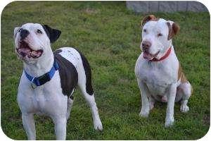 American Bulldog/American Pit Bull Terrier Mix Dog for adoption in Phoenix, Arizona - Johnny & Cash