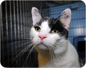 Oriental Cat for adoption in New York, New York - Homer