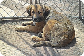Border Collie/Golden Retriever Mix Dog for adoption in Anton, Texas - Cheeto