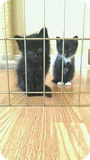 Domestic Shorthair Kitten for adoption in Hamilton, Ontario - Melvin