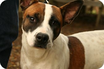 Akita/Australian Cattle Dog Mix Dog for adoption in Snohomish, Washington - Special Girl Sperry!