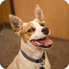 Australian Cattle Dog Dog for adoption in Schertz, Texas - Blue