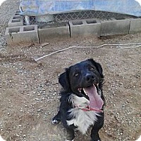 Australian Shepherd/Spaniel (Unknown Type) Mix Dog for adoption in Littlerock, California - Duke