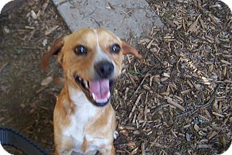 Beagle/Dachshund Mix Dog for adoption in Greensboro, Georgia - Opal