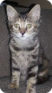 Domestic Mediumhair Kitten for adoption in McHenry, Illinois - Brie