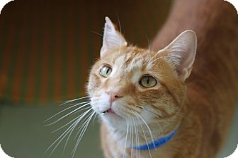 Domestic Shorthair Cat for adoption in Chicago, Illinois - Federov