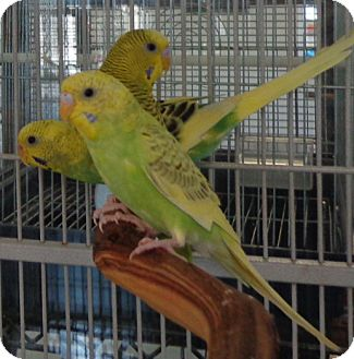 Budgie for adoption in Grandview, Missouri - Dudley
