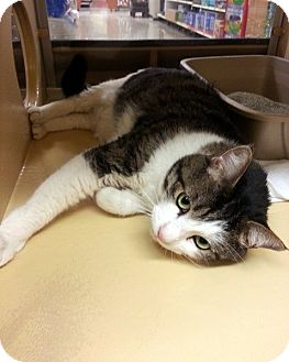 Domestic Shorthair Cat for adoption in Las Vegas, Nevada - Jamie