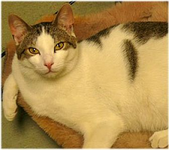 Domestic Shorthair Cat for adoption in Milford, Massachusetts - Joe and Joseph