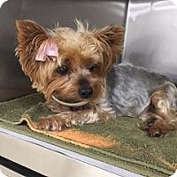 Adopt A Pet :: Gigi - Conroe, TX