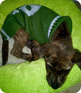 Pug/French Bulldog Mix Puppy for adoption in Fishkill, New York - MISO