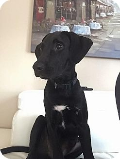Labrador Retriever Mix Puppy for adoption in Middletown, Rhode Island - Jasper