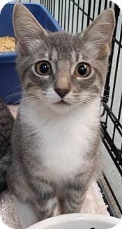 Domestic Shorthair Kitten for adoption in Westminster, California - Oasis