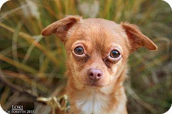 Chihuahua Mix Dog for adoption in Portland, Oregon - Loki
