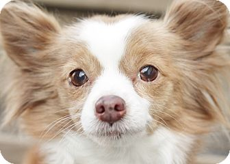Papillon/Chihuahua Mix Dog for adoption in Romeoville, Illinois - Princess (Bonded w/Baby Girl)