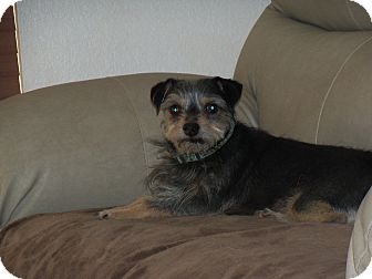 Yorkie, Yorkshire Terrier/Terrier (Unknown Type, Small) Mix Dog for adoption in Apache Junction, Arizona - Rusty